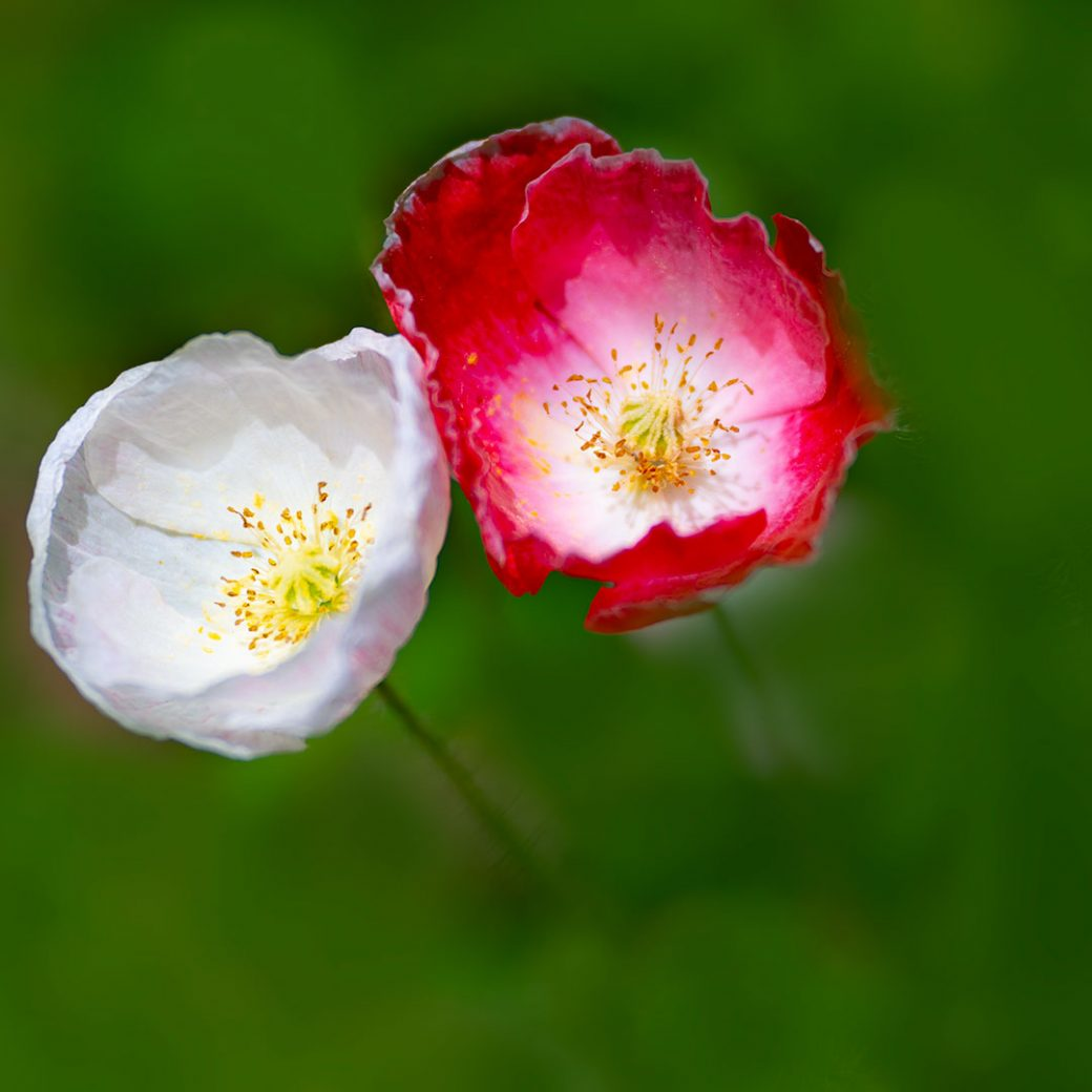 Shirley poppies - Flower photography by Debbie Devereaux