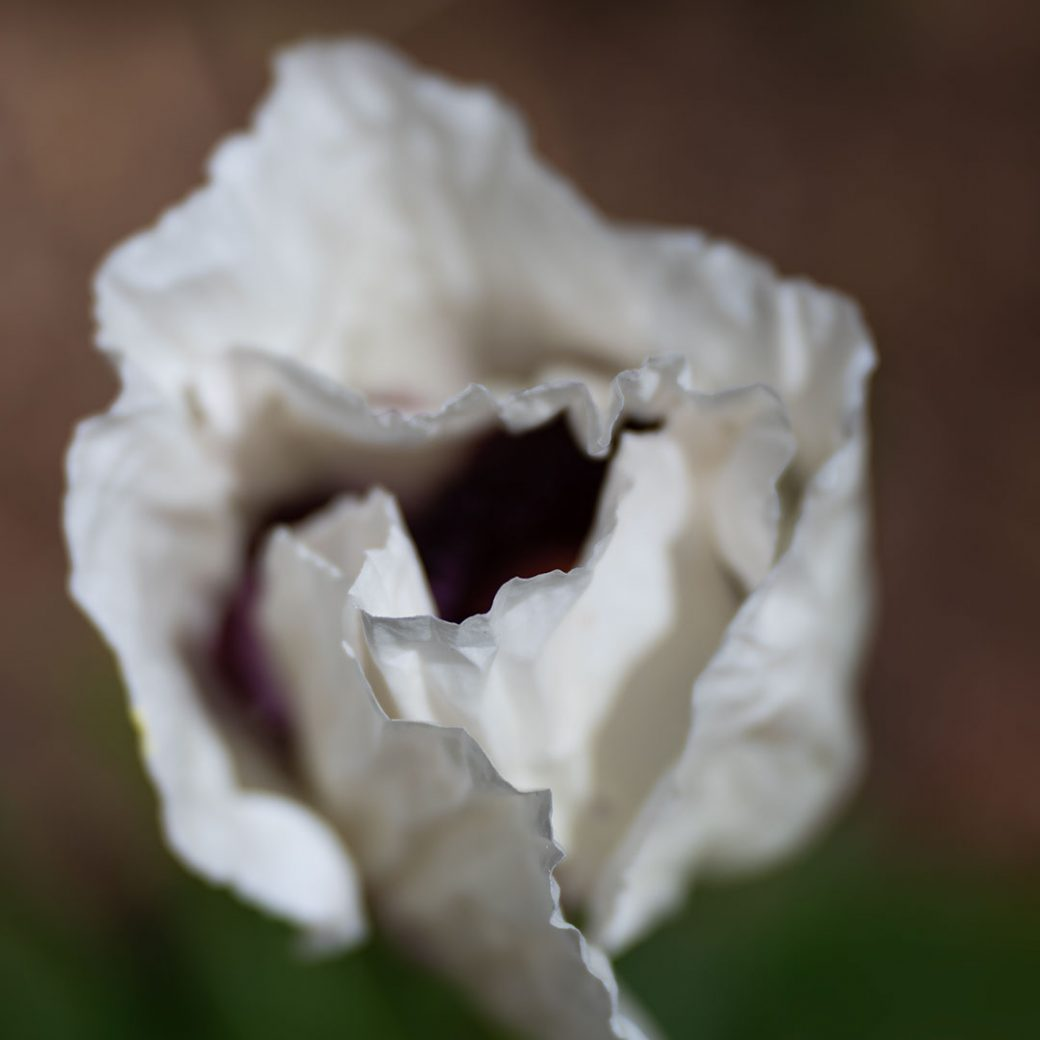 White wedding poppy - Flower photography by Debbie Devereaux