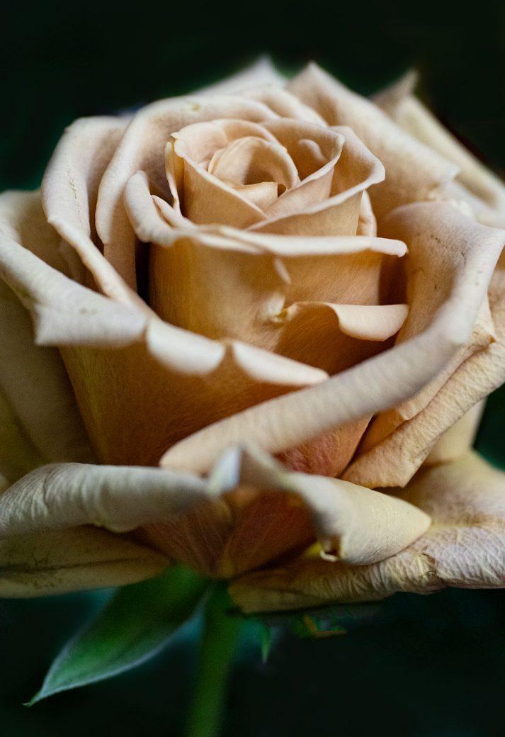 Rose photographed at April's Garden, Durango Colorado