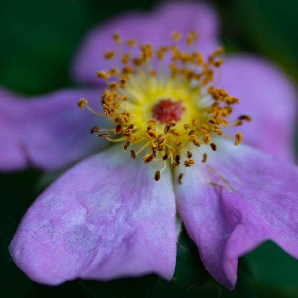 Prickly rose - Colorado wildflowers