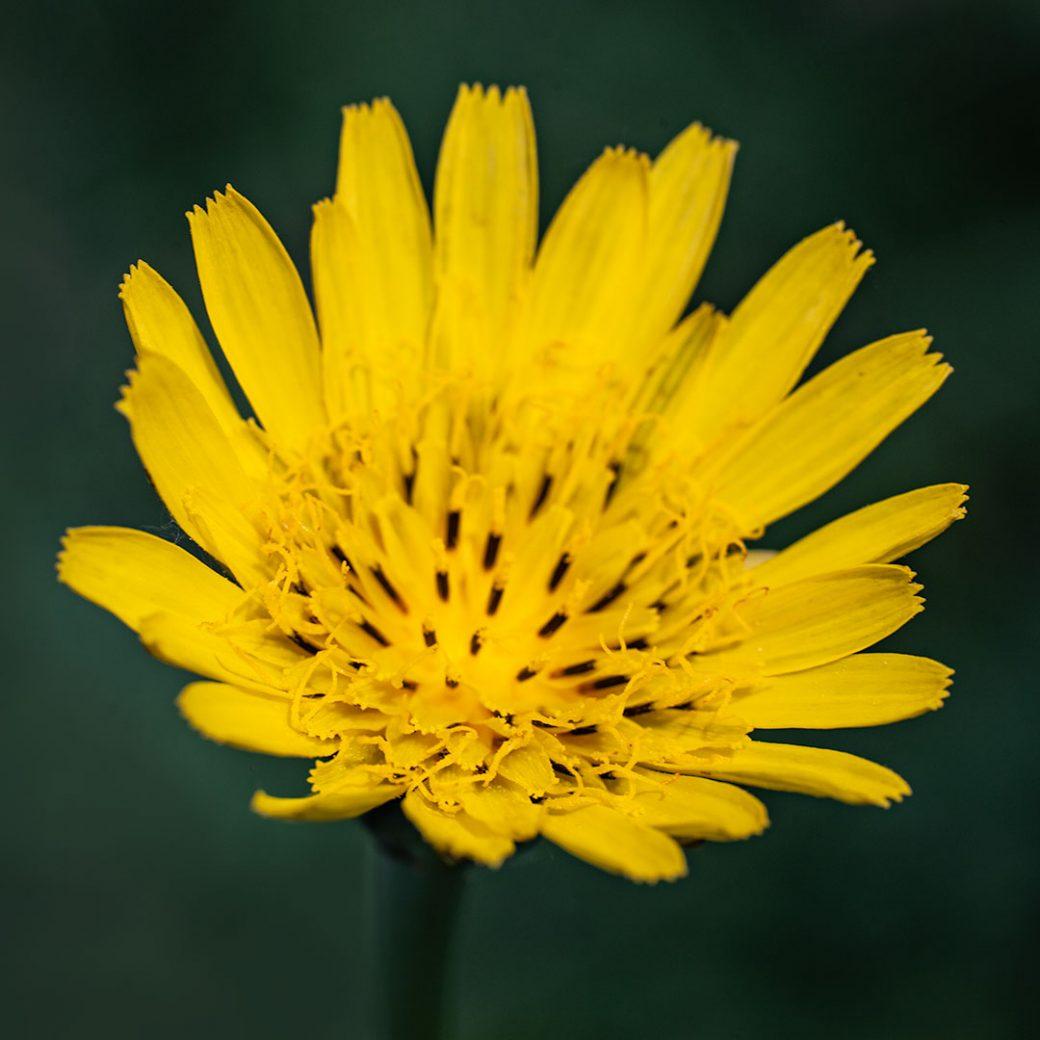 False dandelion Colorado wildflower