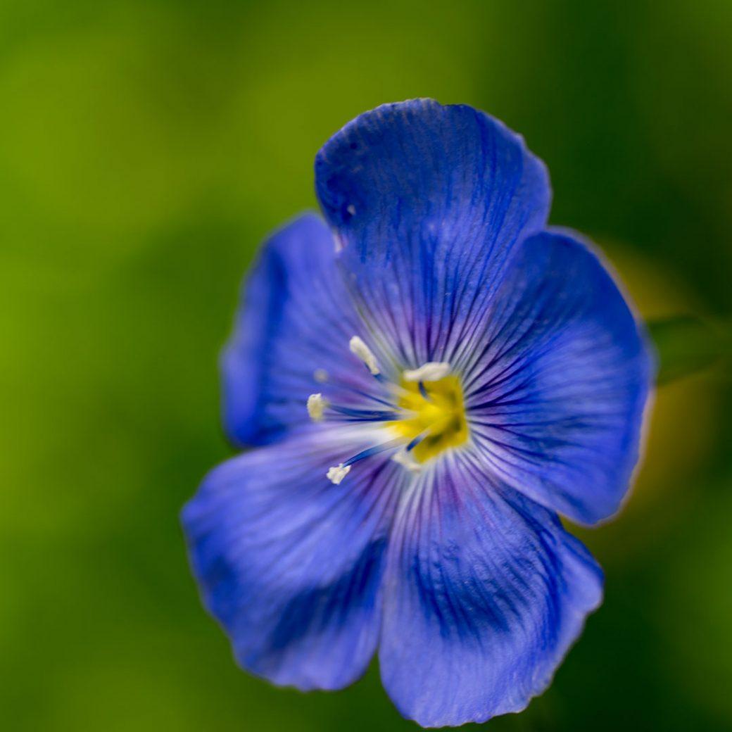 Wild blue flax - Colorado wildflowers