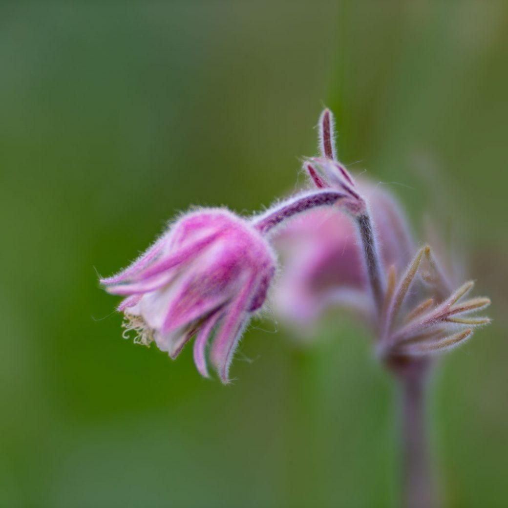 Prairie Smoke Colorado wildflower
