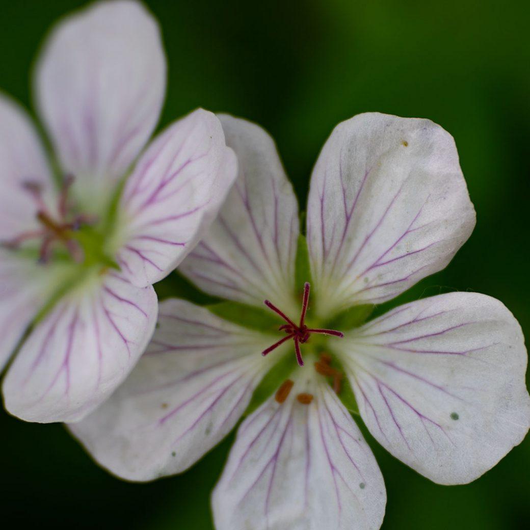 Richardson's geranium - Colorado Wildflowers