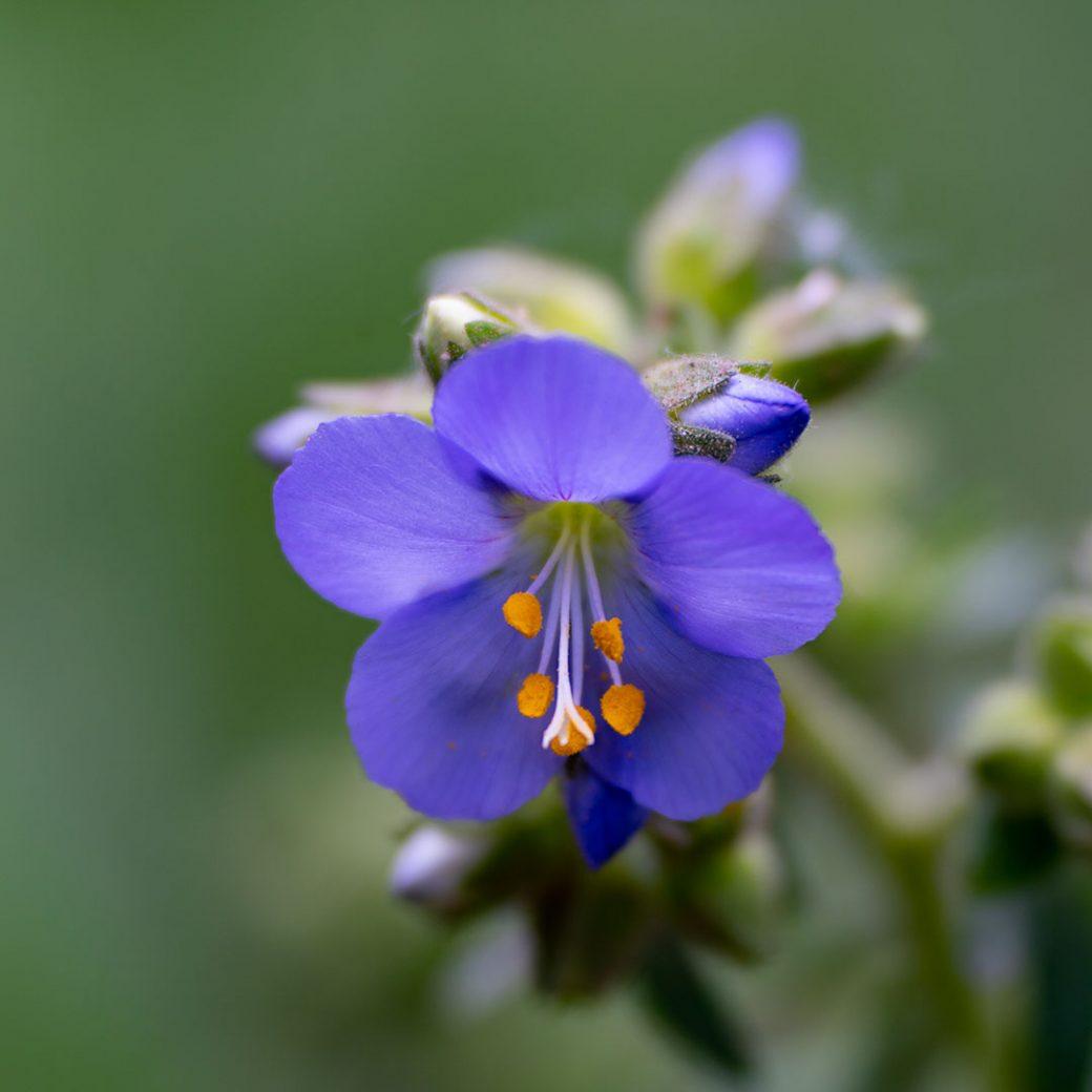 Jacob's ladder - Colorado Wildflowers - ©Debbie Devereaux
