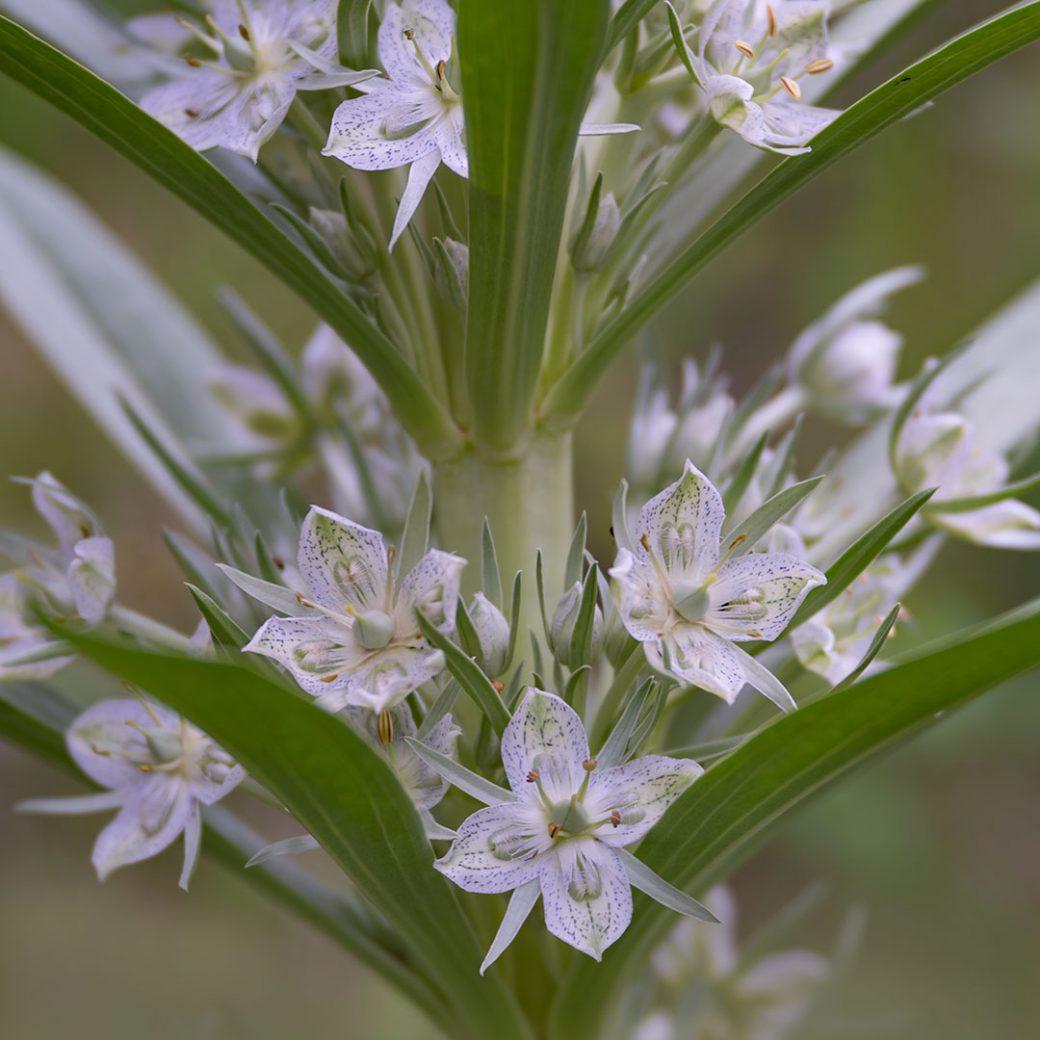 gentian- Colorado Wildflowers - ©Debbie Devereaux.