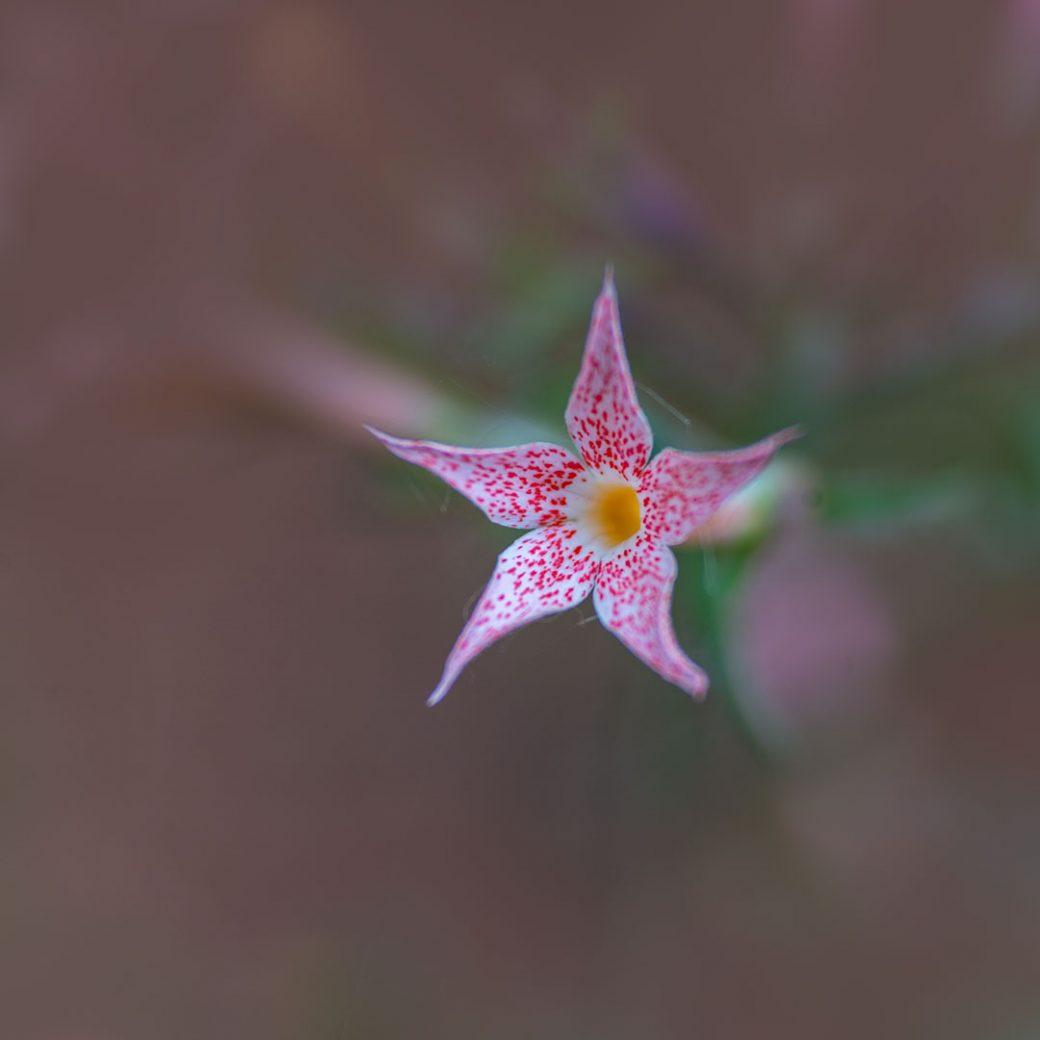 Scarlet Gilia - Colorado Wildflowers