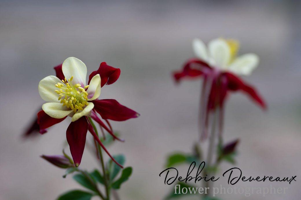 Columbine - Copyright Debbie Devereaux Photography