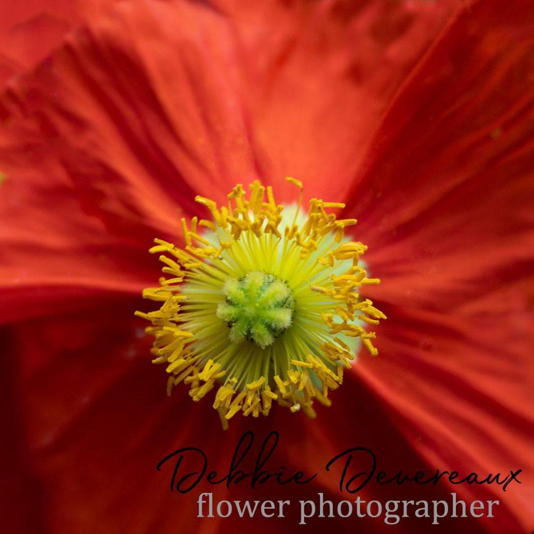 Iceland Poppy - image Copyright Debbie Devereaux