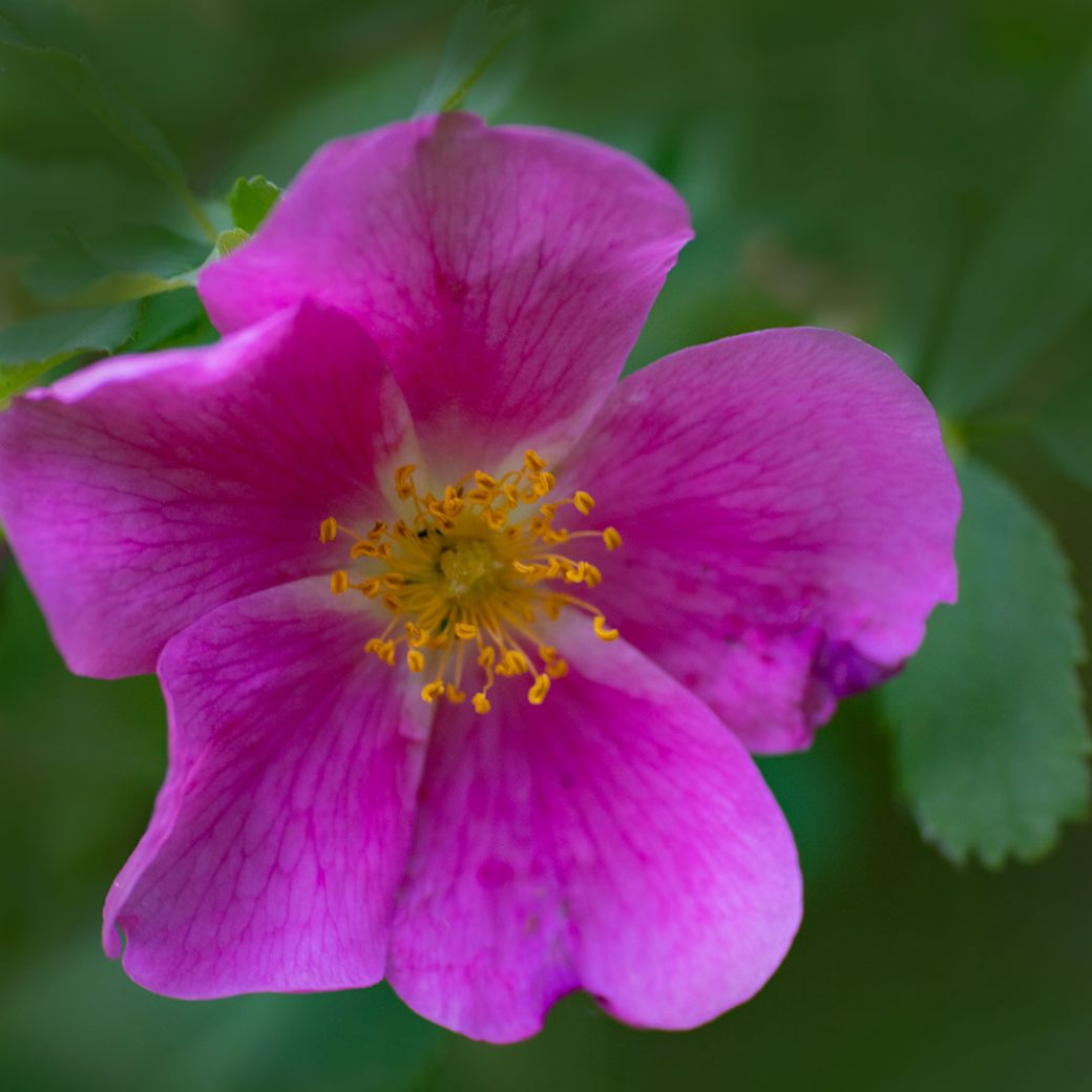 Wild Rose - Colorado wildflowers. Image by Debbie Devereaux Photography