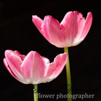 Tulip image - Copyright Debbie Devereaux