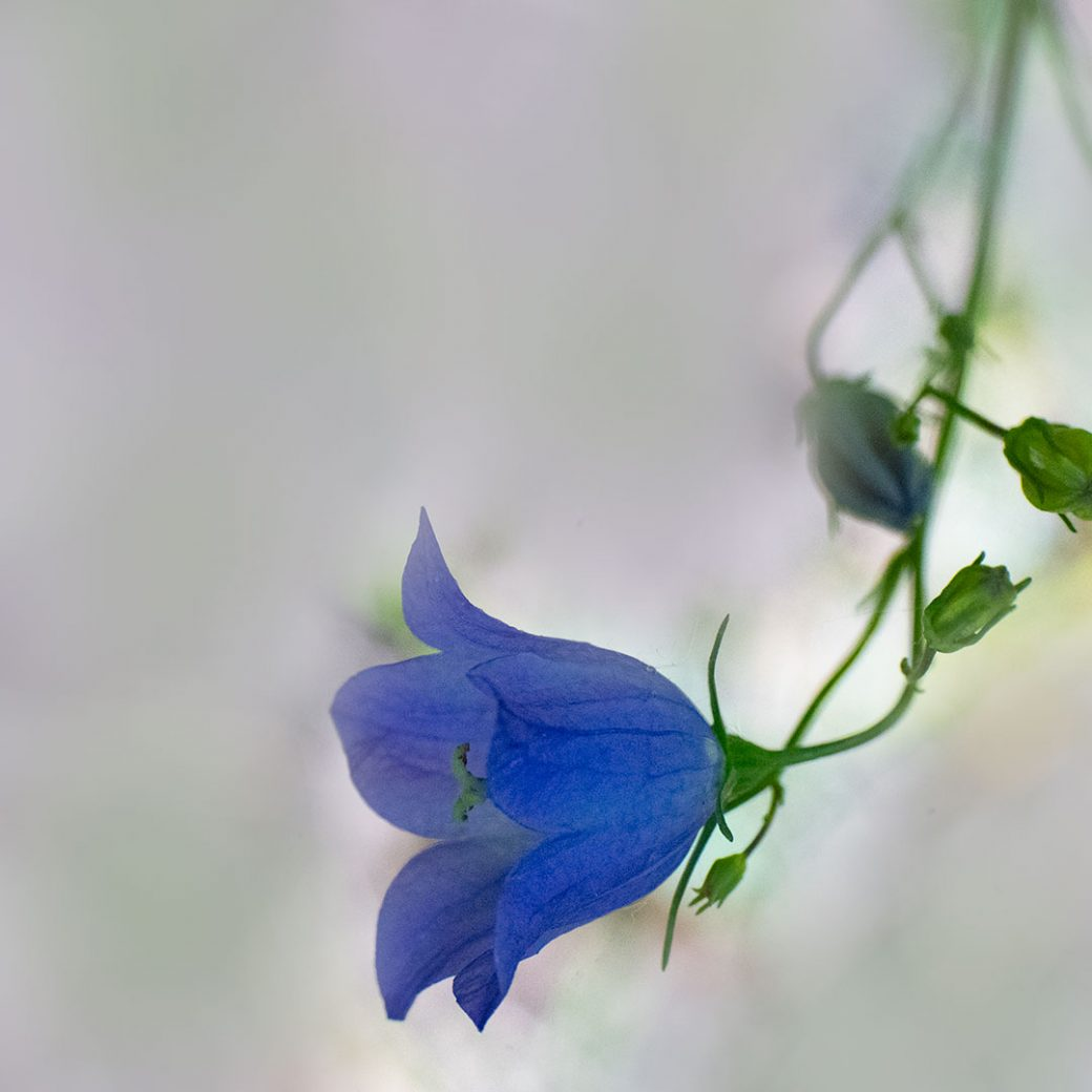 Harebell -Colorado wildflowers. Image by Debbie Devereaux Photography