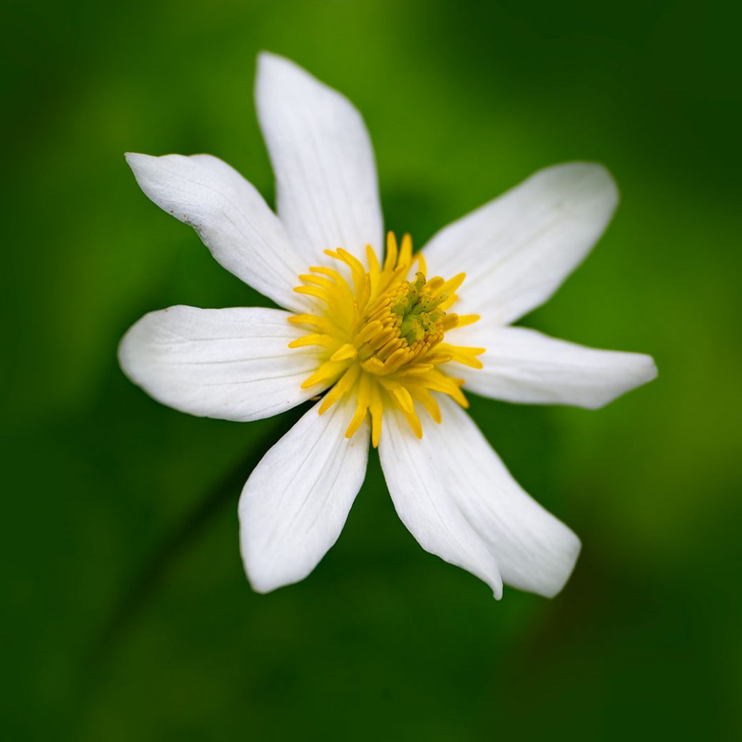 Marsh Marigold wildflower - Copyright Debbie Devereaux Photography