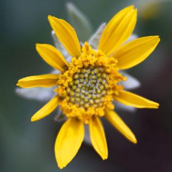 Colorado wildflower - Image Copyright Debbie Devereaux