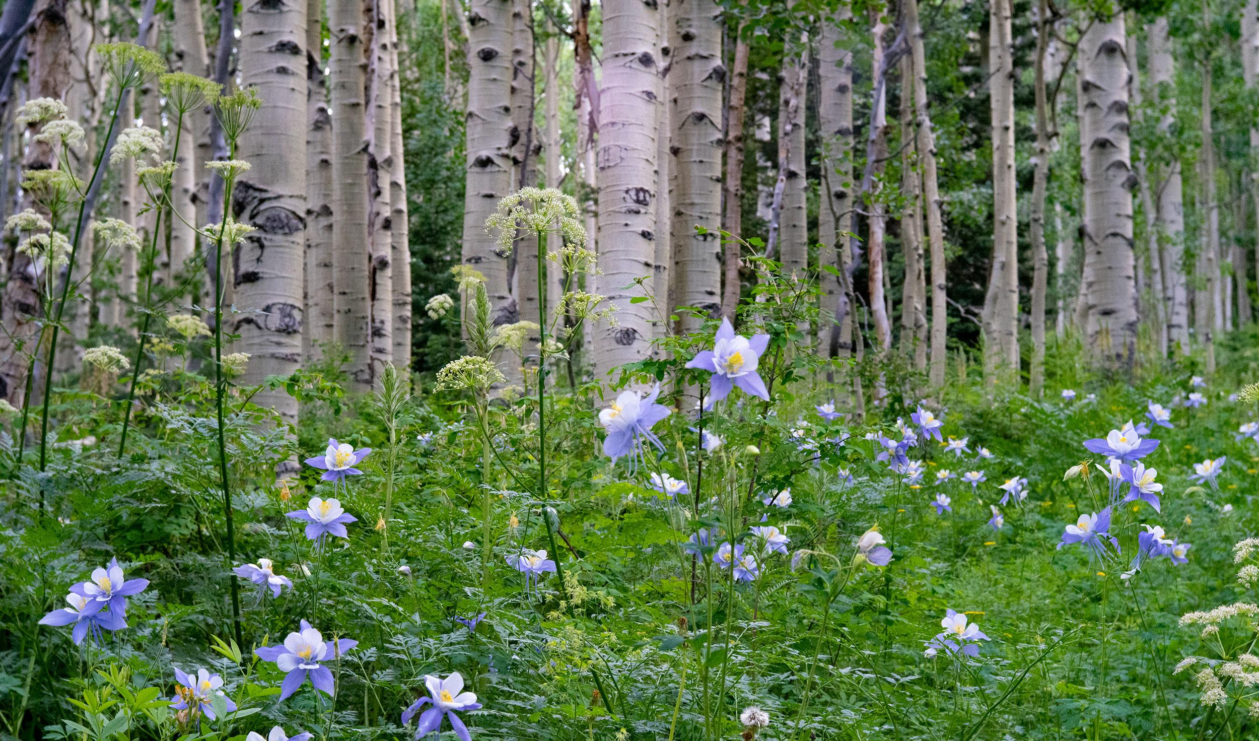 Colorado Columbine - Copyright Debbie Devereaux Photography