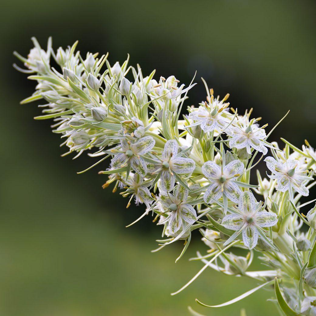 Green Gentian wildflower - Copyright Debbie Devereaux Photography
