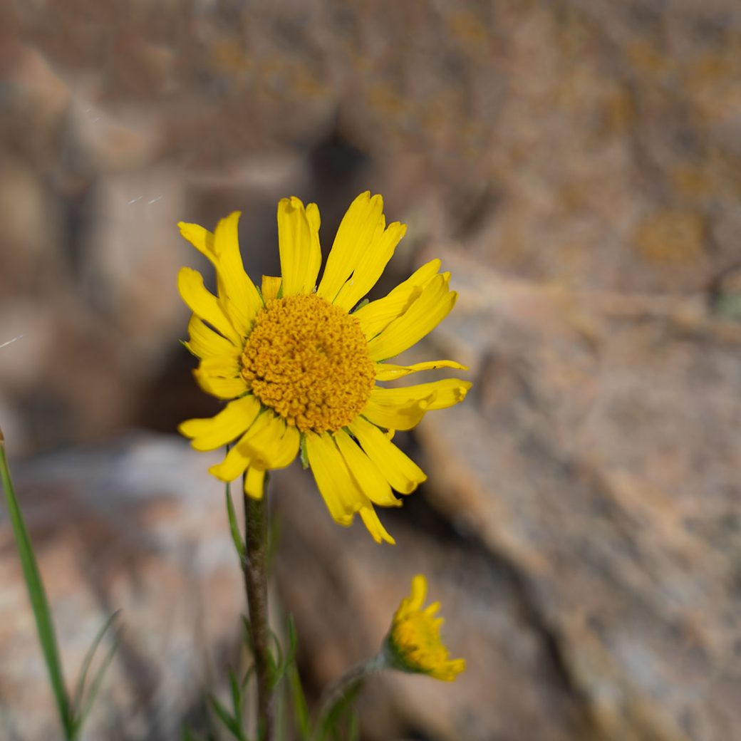 Old Man of the Mountain wildflower - Copyright Debbie Devereaux Photography