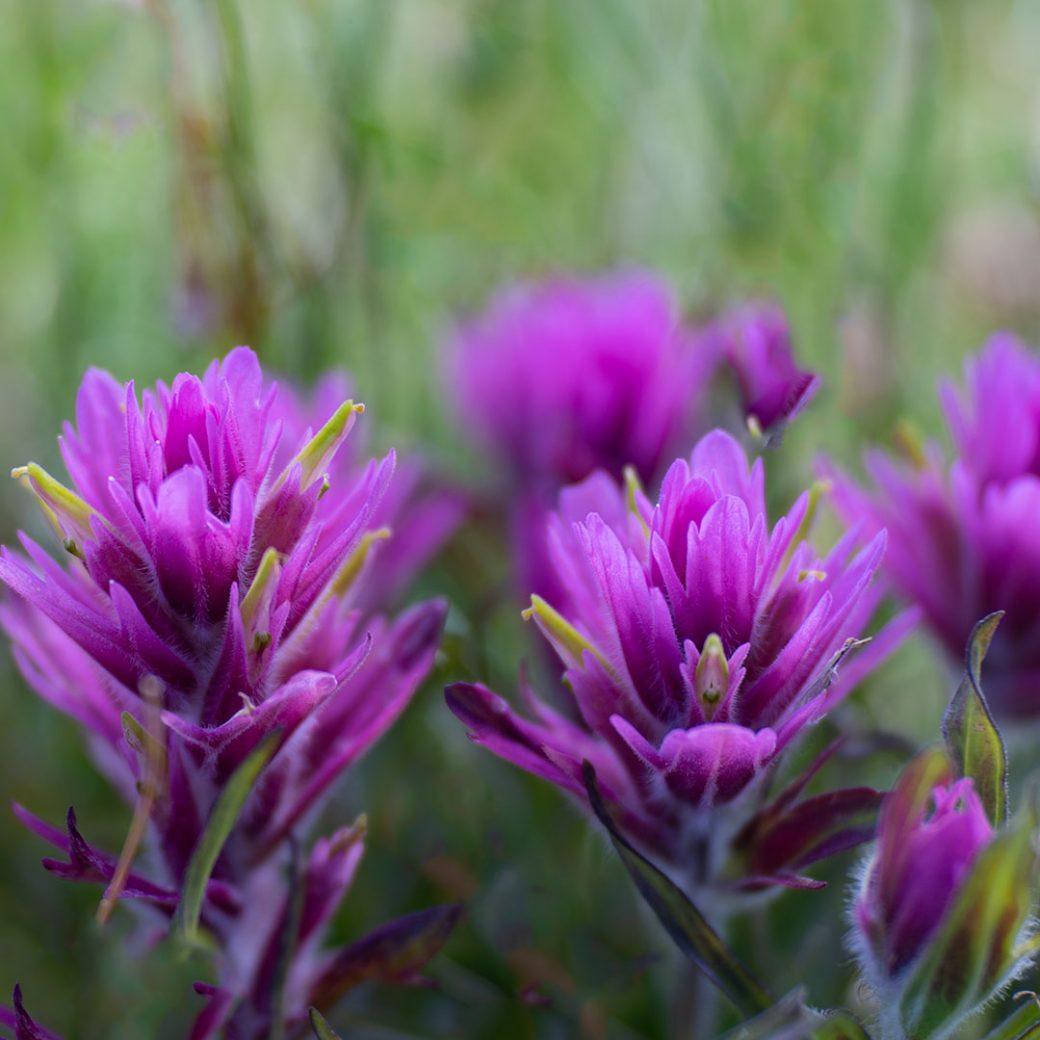 Hayden's Paintbrush wildflower - Copyright Debbie Devereaux Photography
