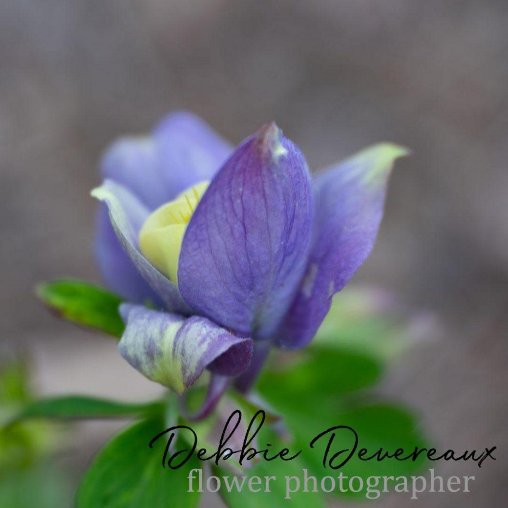 Columbine flower - Copyright Debbie Devereaux Photography