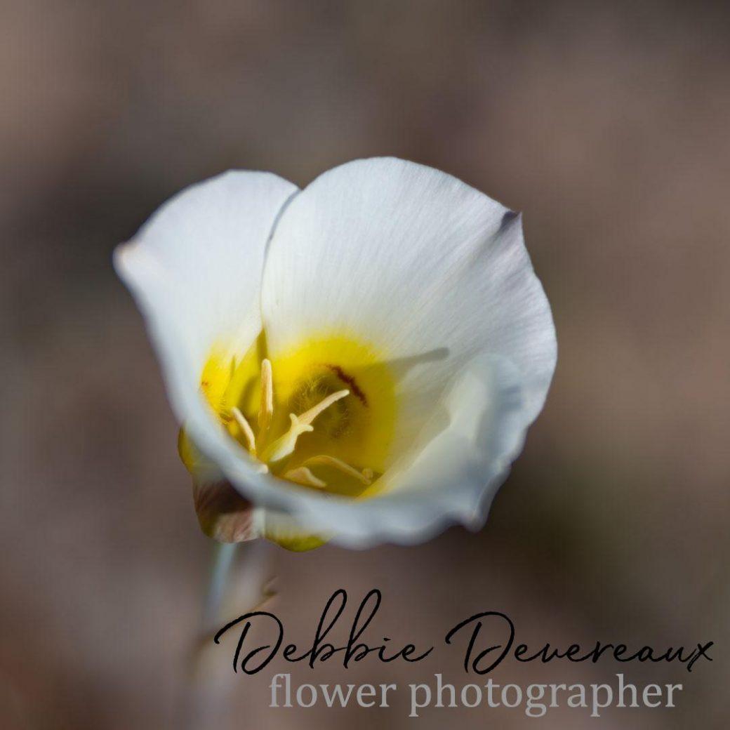 Sego lily wildflower - Image Copyright Debbie Devereaux