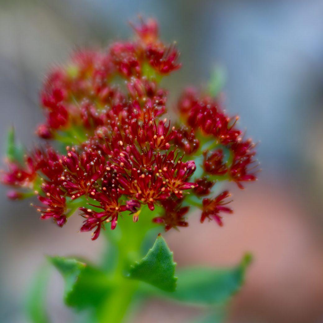 King's crown wildflower - Copyright Debbie Devereaux Photography