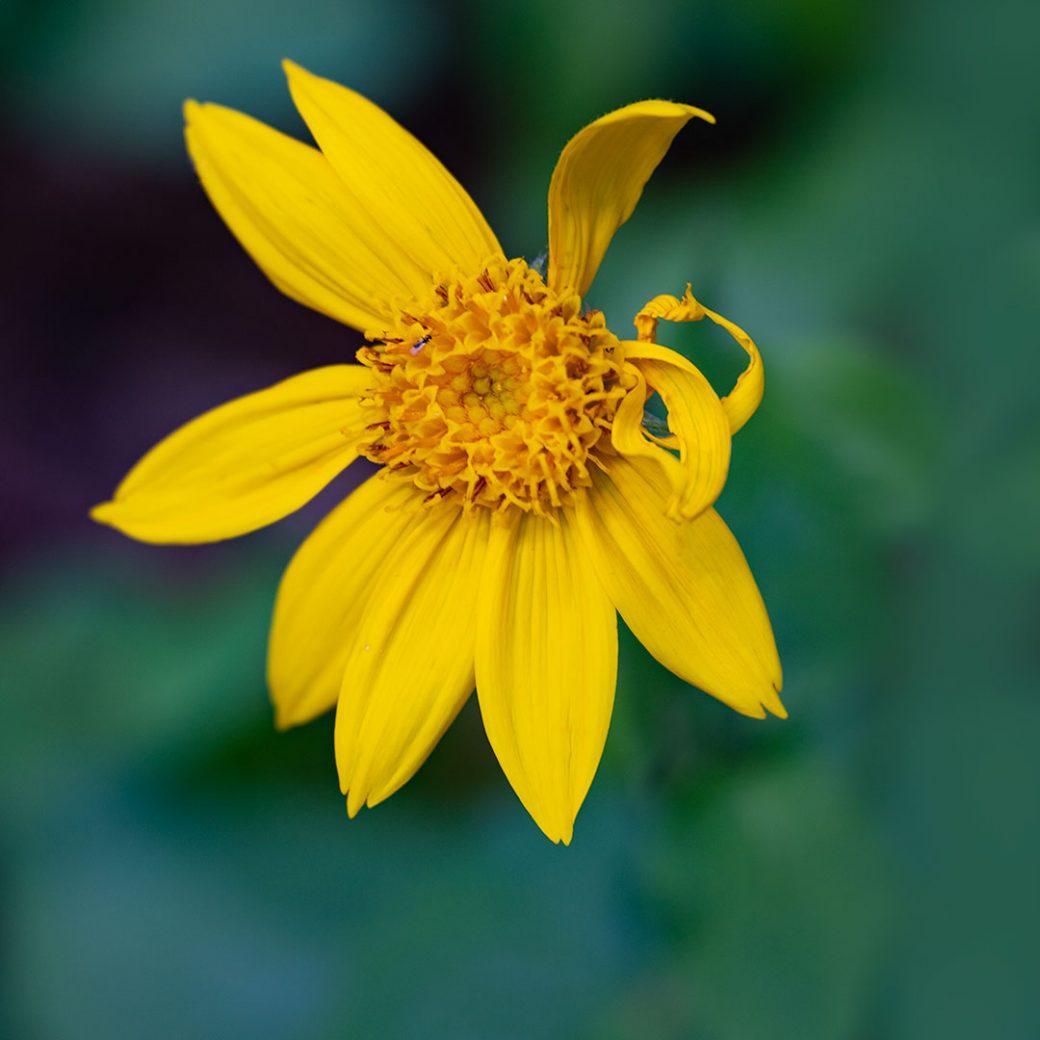 Arnica wildflower - Copyright Debbie Devereaux Photography