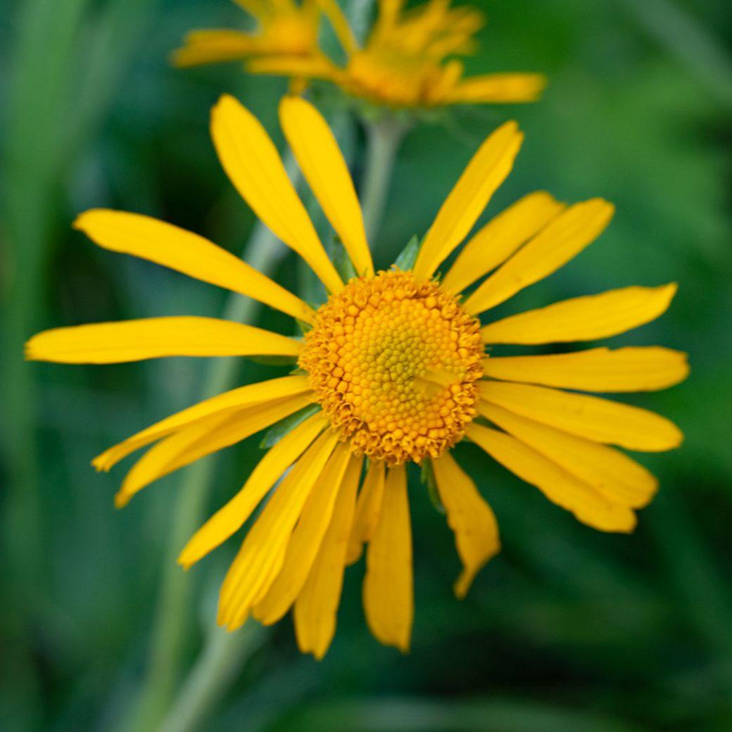 Sneezeweed wildflower - Copyright Debbie Devereaux Photography