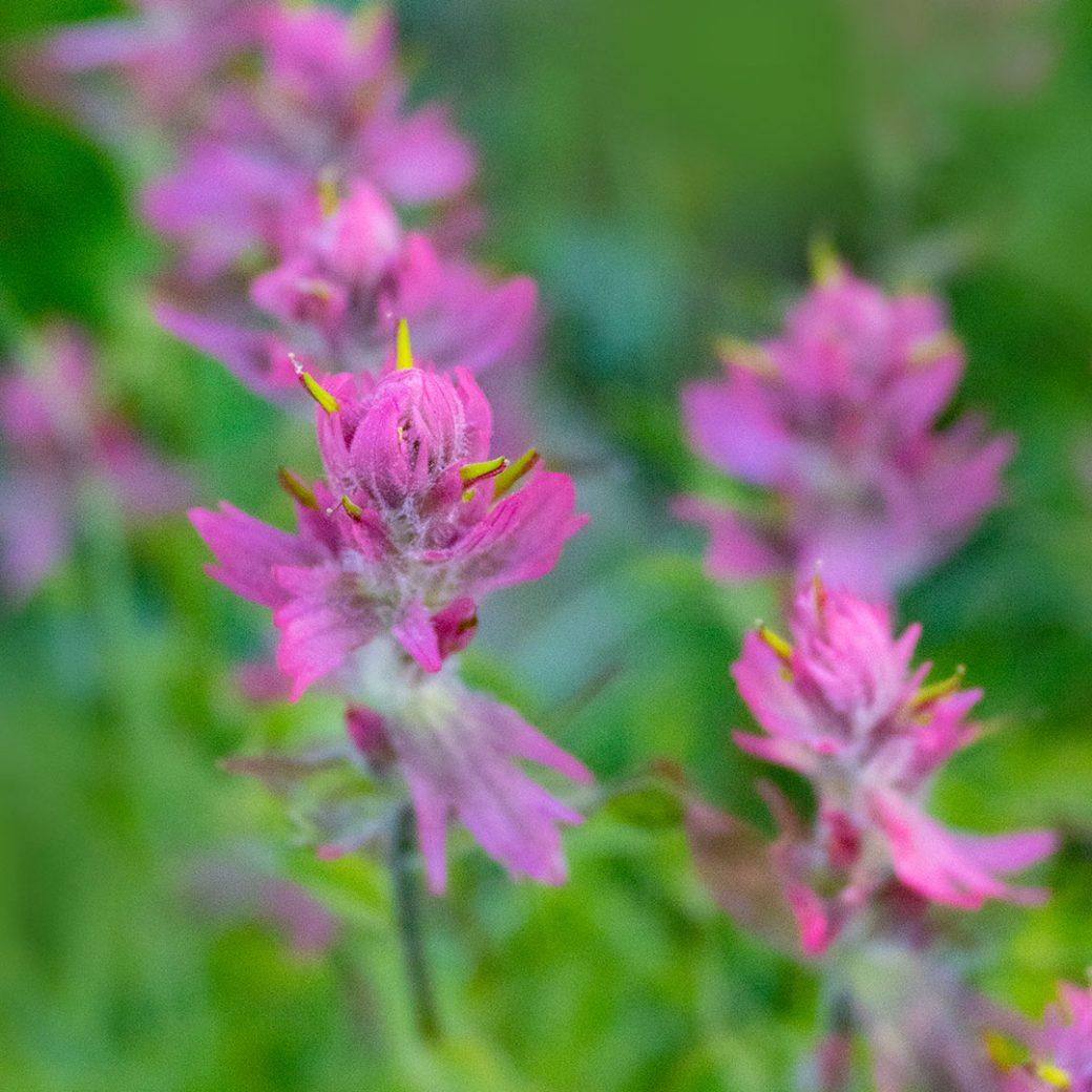 Rosy paintbrush wildflower - Copyright Debbie Devereaux Photography