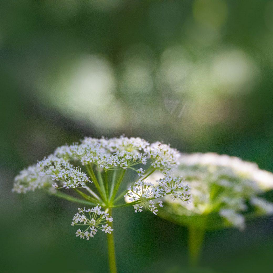wildflower - Copyright Debbie Devereaux Photography