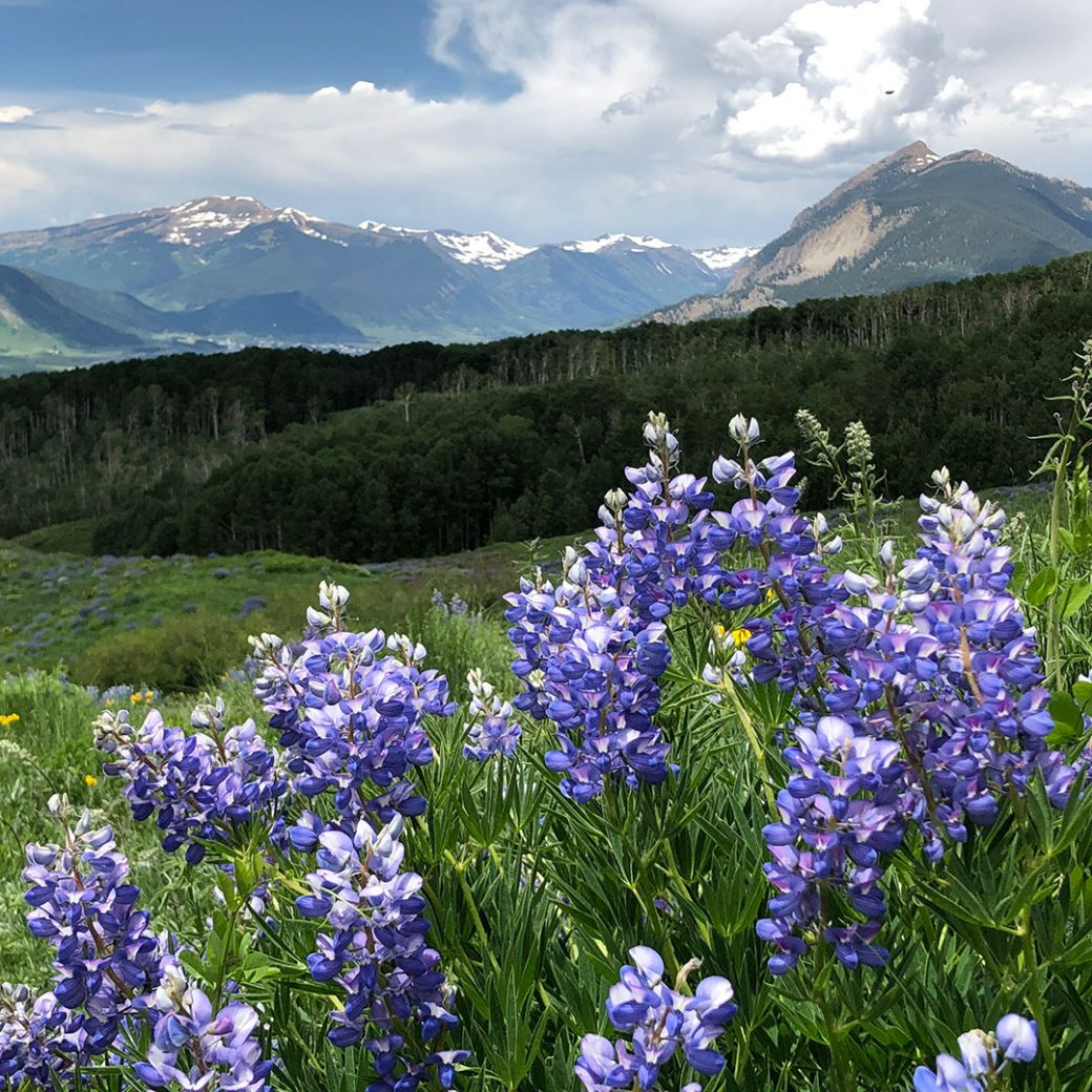 Crested Butte Lupines. Copyright ©Debbie Devereaux Photography
